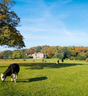 Cows graze on the fields in front of a manor house